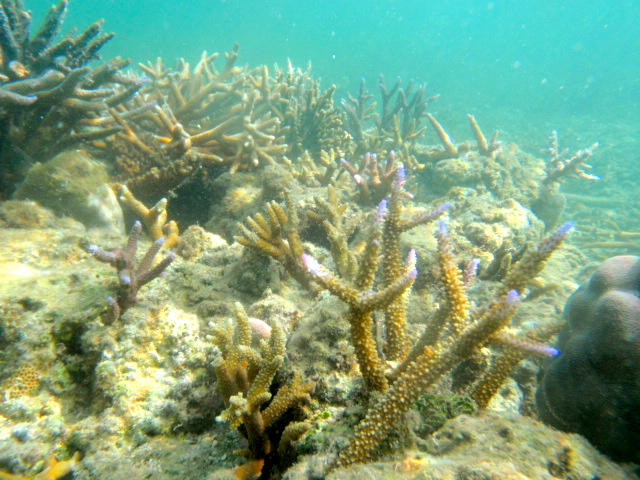 Coral Gardening in Fiji Healthy staghorn coral
