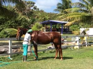 Barbados horse riding