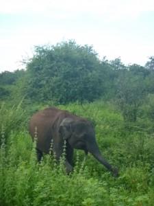Elephant-Sri-Lanka-Island-Spirit