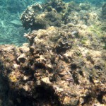 coral gardening squid