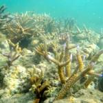 Coral gardening Fiji Island Spirit Responsible travel