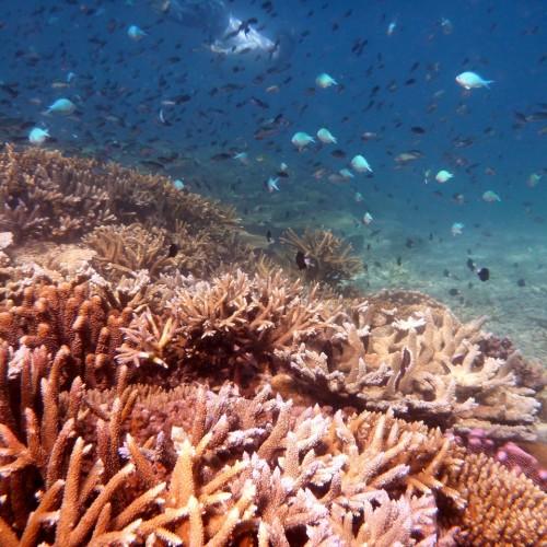 Island Spirit Responsible travel fiji coral reef gardening