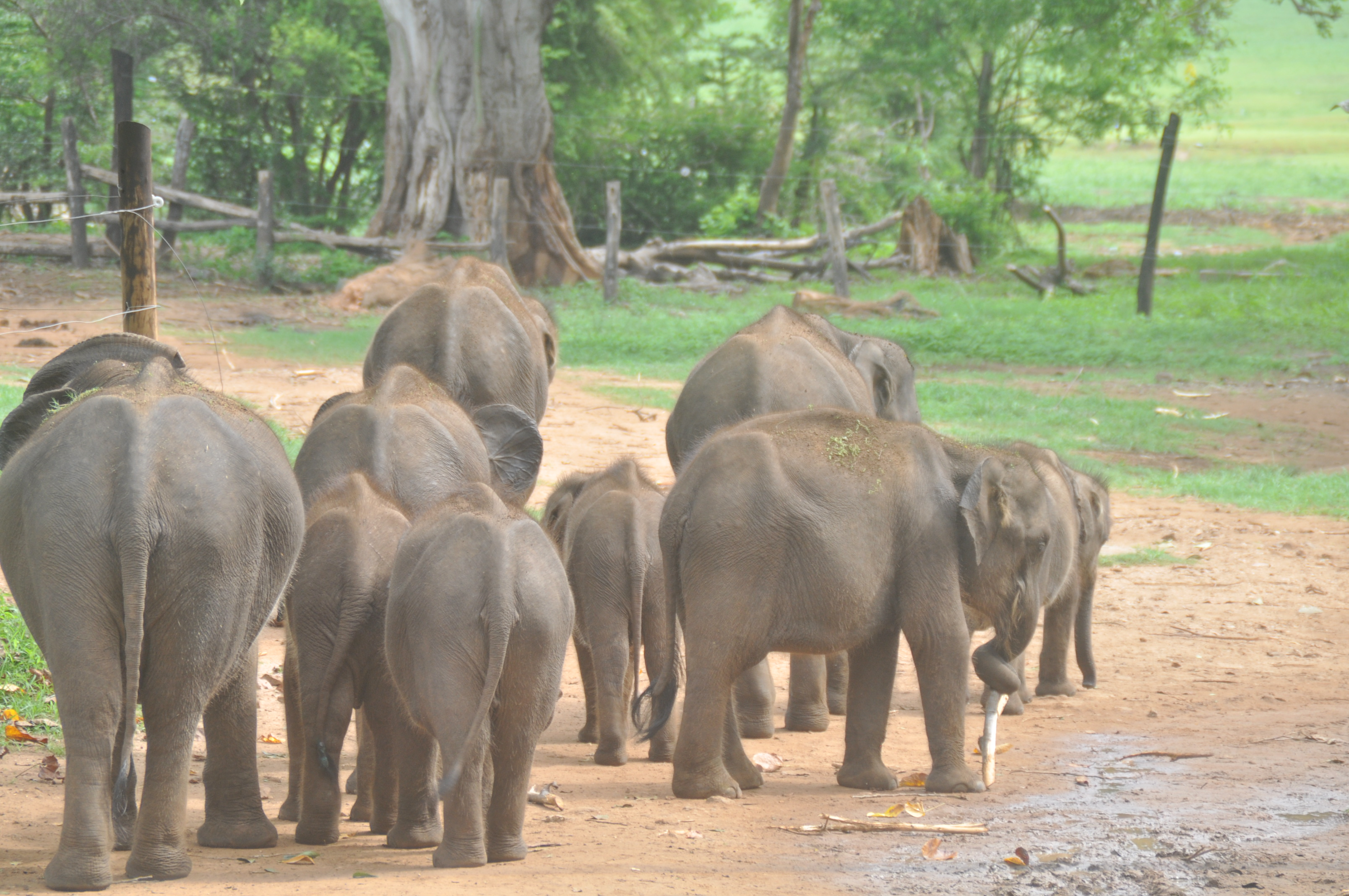 Elephants in Sri Lanka Island Spirit