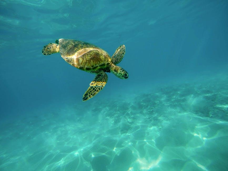 Leatherback turtle, Barbados Marine Life