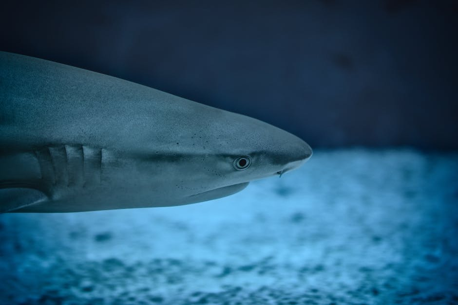 Reef shark close up, Barbados Marine Life
