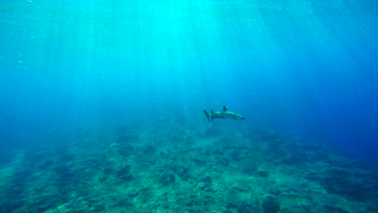 shark, supermarket dive spot, fiji