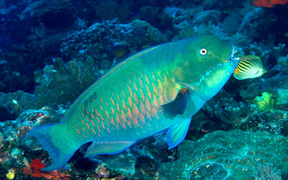 Fijian parrot fish