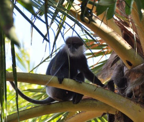 Sri Lanka Island Spirit monkey