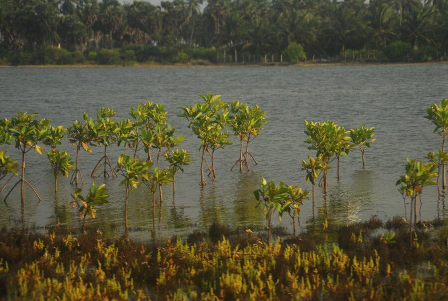 mangrove reforestation project Kalpitiya Sri Lanka