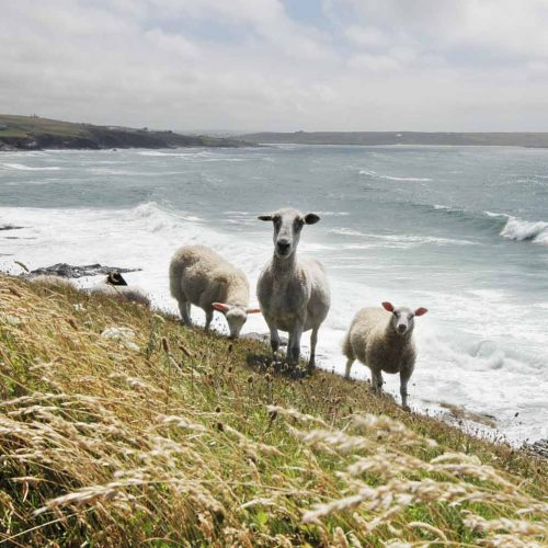 Sheep on Polzeath cliff need responsible tourism in England
